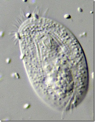 chilodonella