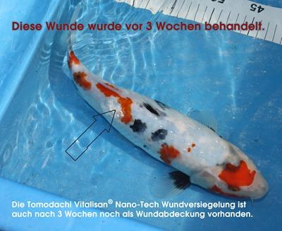 Koi mit behandelter Wunde - Tomodachi VitaliSan Wundversiegelung ist auch nach 3 Wochen noch auf der Wunde zu sehen.